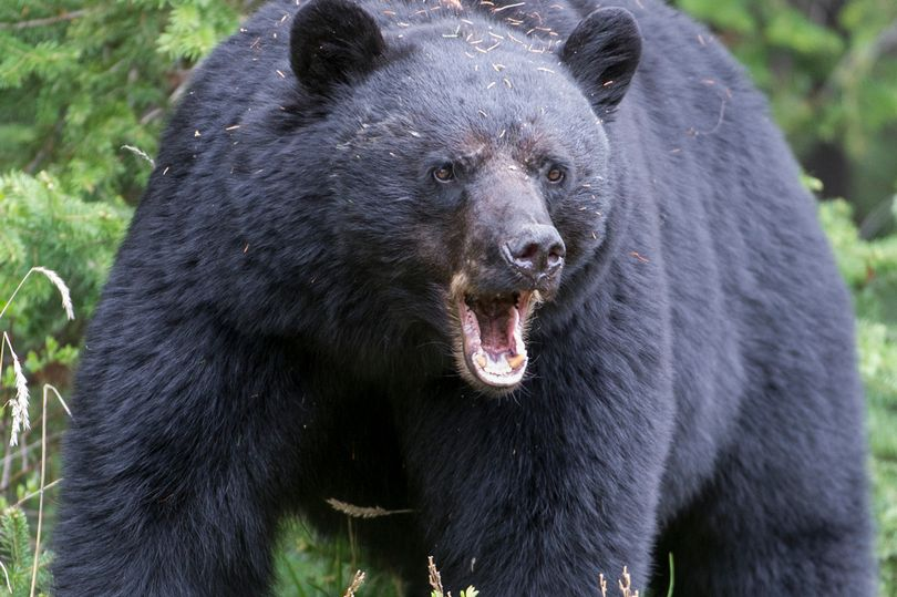 mơ thấy gấu đánh con gì