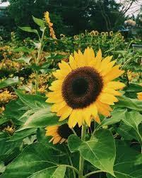 Mơ thấy hoa hướng dương đánh bao nhiêu trong kết quả xổ số