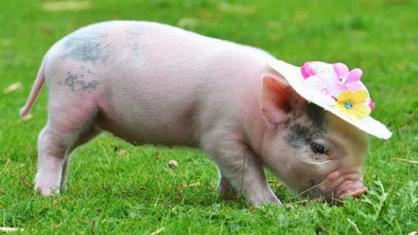 Mơ thấy lợn đánh con gì điềm báo gì
