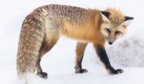 Chiêm bao thấy con cáo điềm báo gì đánh số gì chắc trúng